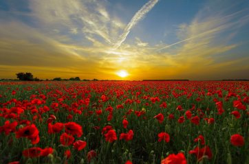 sunset-field-poppy-sun-priroda